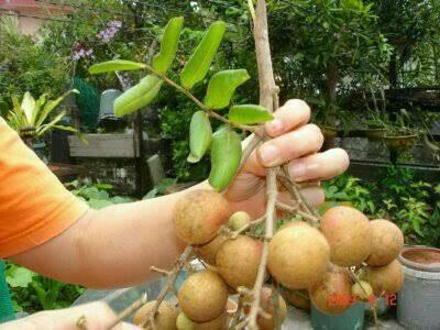 harga Bibit tanaman buah kelengkeng pingpong jumbo Tokopedia.com