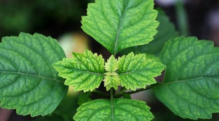 harga Bibit tanaman daun nilam / patchouli Tokopedia.com
