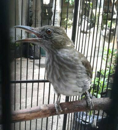 Jual Burung Siri Siri Rajin Bunyi Kota Bekasi Al Fath Herbal Tokopedia