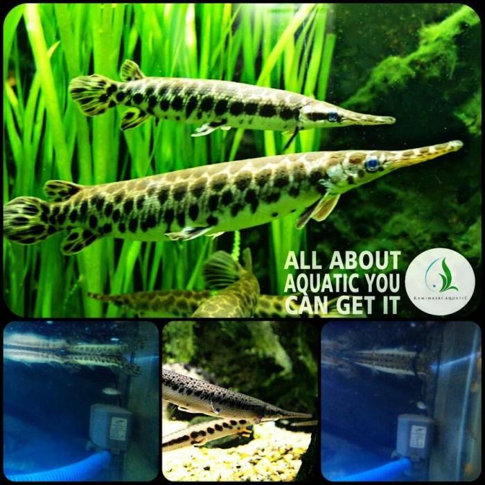harga Ikan aligator florida untuk aquarium Tokopedia.com