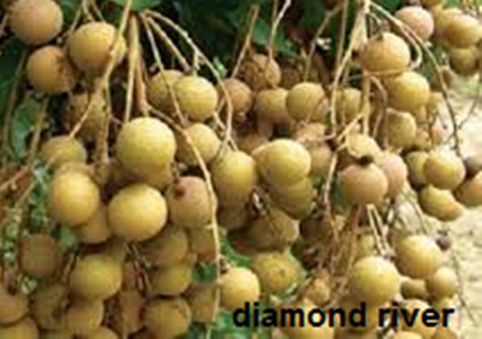 harga Bibit kelengkeng diamond river kualitas unggul mututerjamin Tokopedia.com
