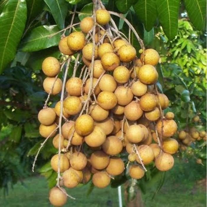 harga Tanaman kelengkeng diamond river 40cm Tokopedia.com
