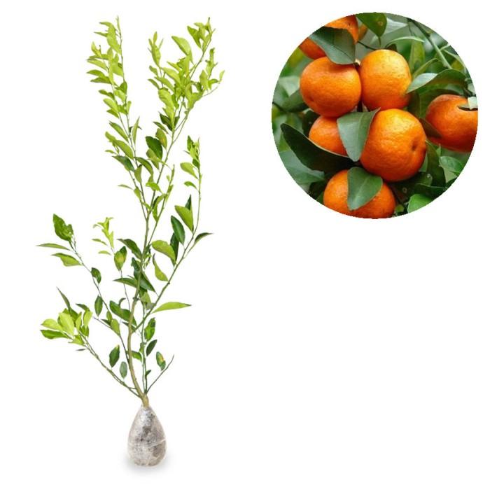 harga Tanaman jeruk santang madu Tokopedia.com