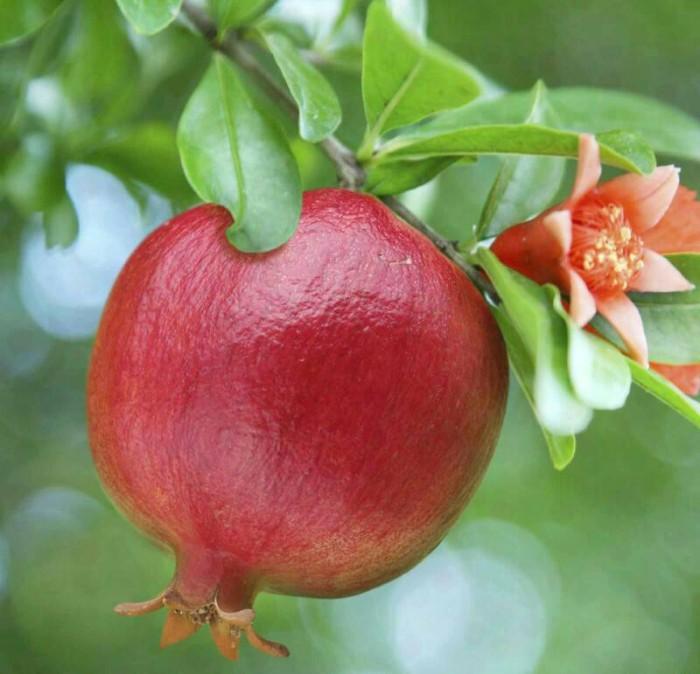 harga Bibit tanaman buah delima thailand merah biji lunak Tokopedia.com