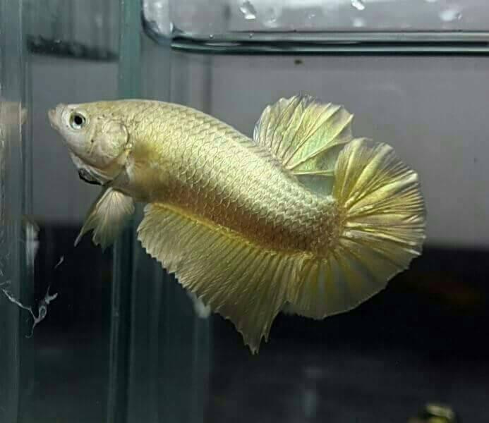Jual ikan cupang hias full gold emas REAL bagan bangkok ...