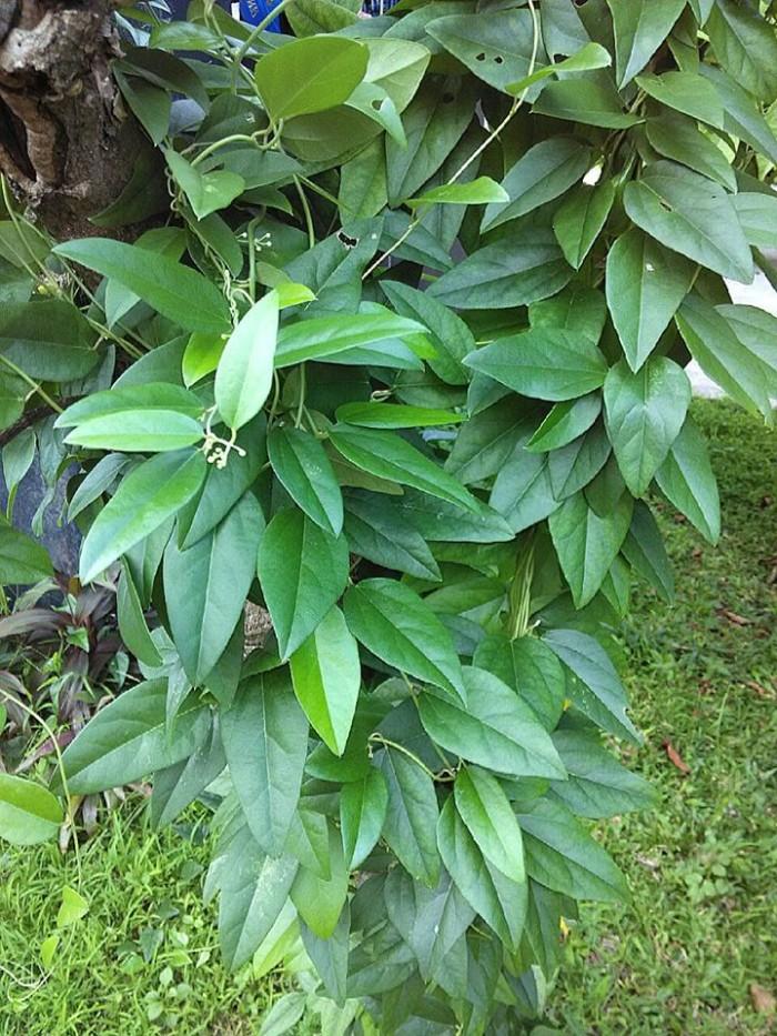 Hasil gambar untuk daun cincau