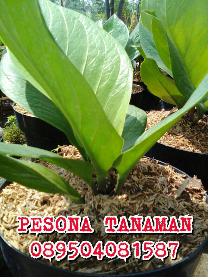 harga Bibit tanaman anthurium jemani cobra/tananan anthurium cobra + pot Tokopedia.com