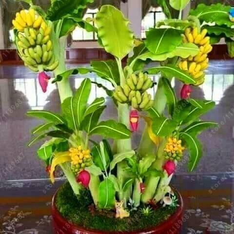 Jual Benih Bibit Biji Pisang Mini Bonsai Import Dki Jakarta Larisa Flowers Tokopedia