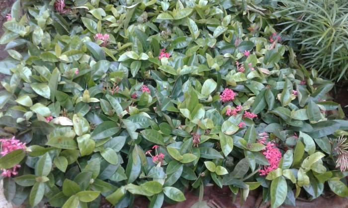 Jual Soka Violet Bunga Pink Kab Bogor Agungzaki Tokopedia