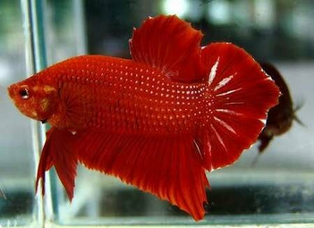 harga Ikan cupang giant red dragon super bangkok import bagan serit murah Tokopedia.com