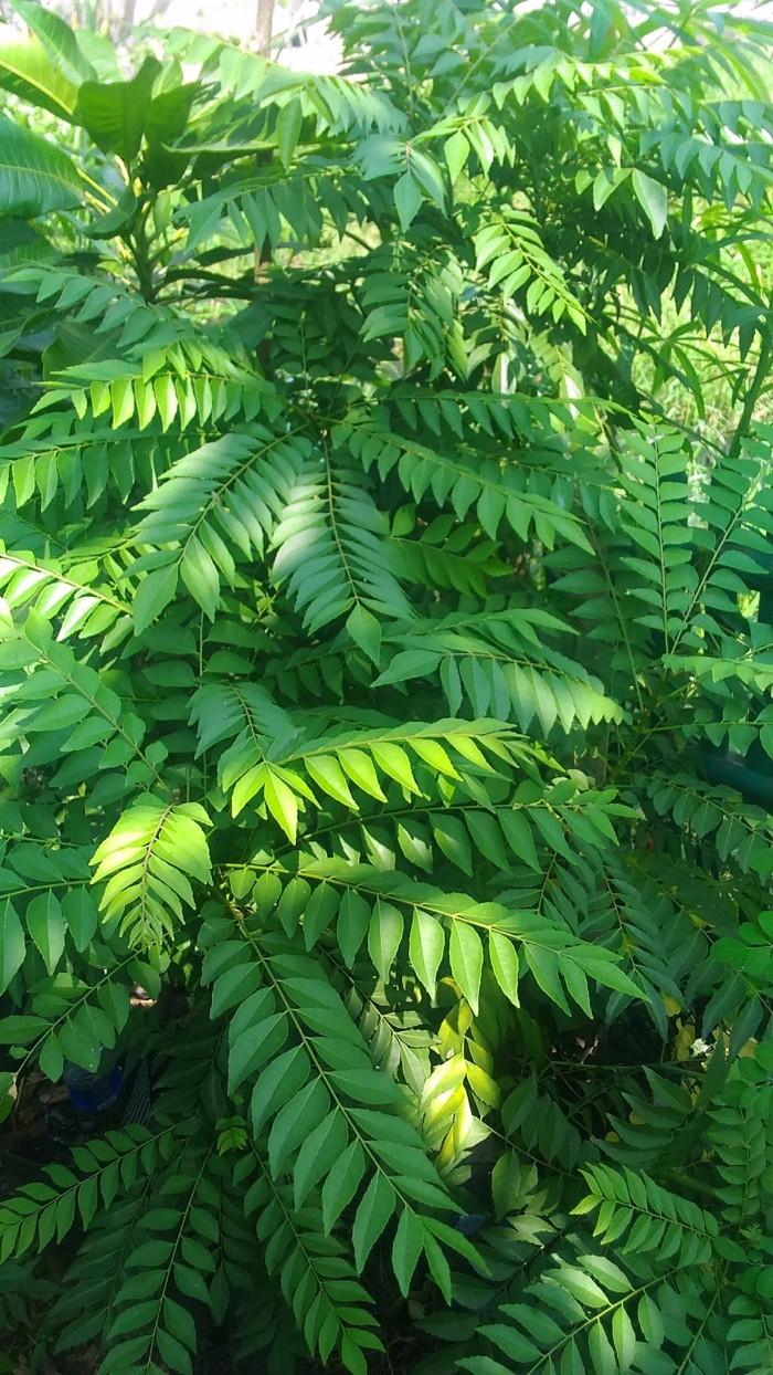 Jual Pohon Daun Kari