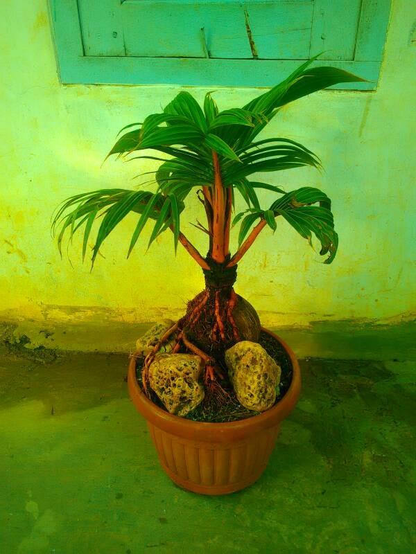 Jual Jual Pohon Bonsai Kelapa Kota Depok Saung Flora Tokopedia