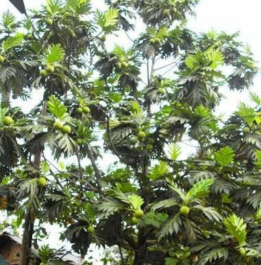 Jual jual pohon sukun - Kota Tangerang - tokotanamanhias | Tokopedia