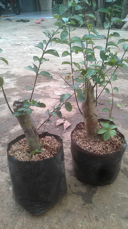 harga Tanaman sakura / bibit tanaman sakura / pohon bungur Tokopedia.com