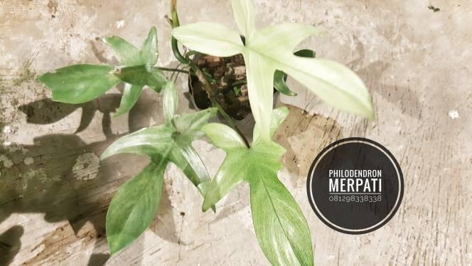 harga Philodendron merpati Tokopedia.com