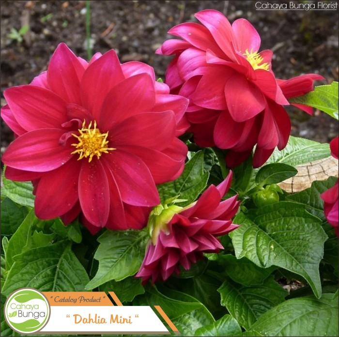 Gambar Bunga Dahlia Merah Gambar Ngetrend Dan Viral