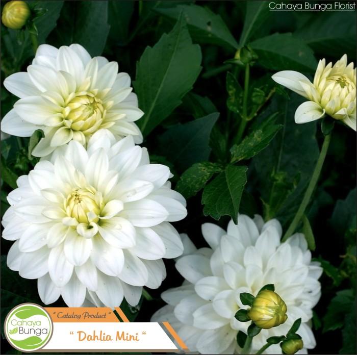 Jual Tanaman Hias Bunga Dahlia Putih Kota Batu Cahaya Bunga Florist Tokopedia