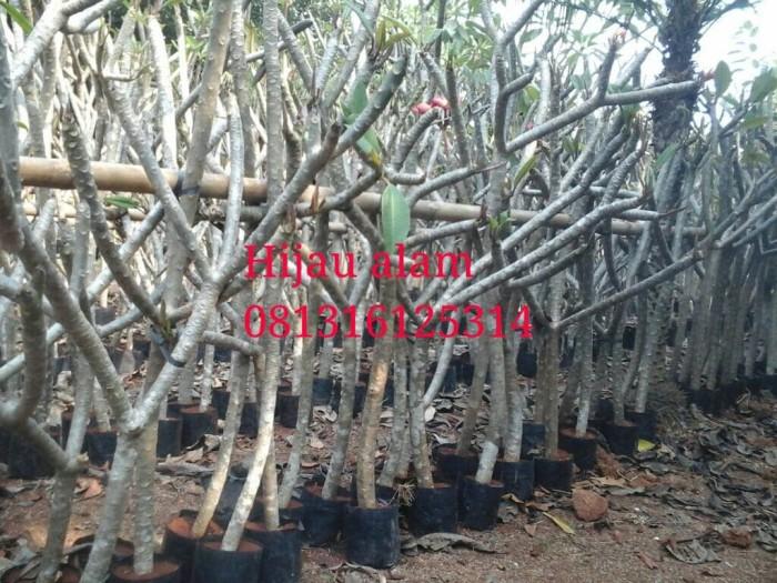 Tanaman kamboja bali / bibit pohon kamboja