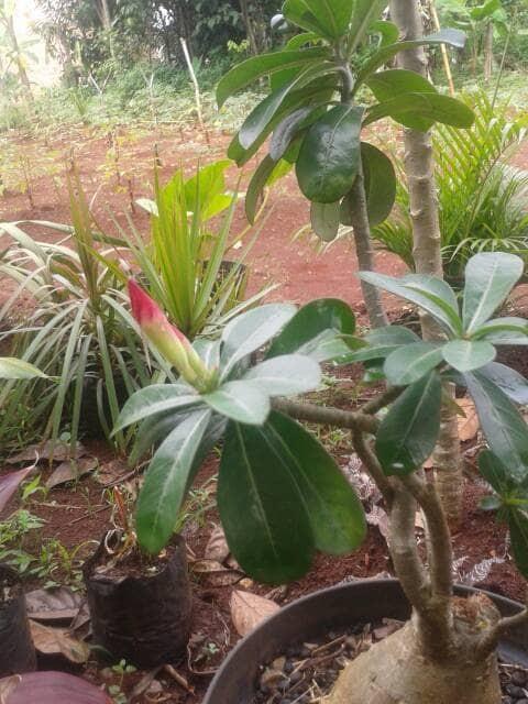 harga Jual tanaman kamboja jepang   adenium bunga Tokopedia.com
