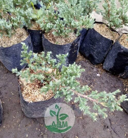 harga 2 bibit bonsai pohon cemara buaya Tokopedia.com