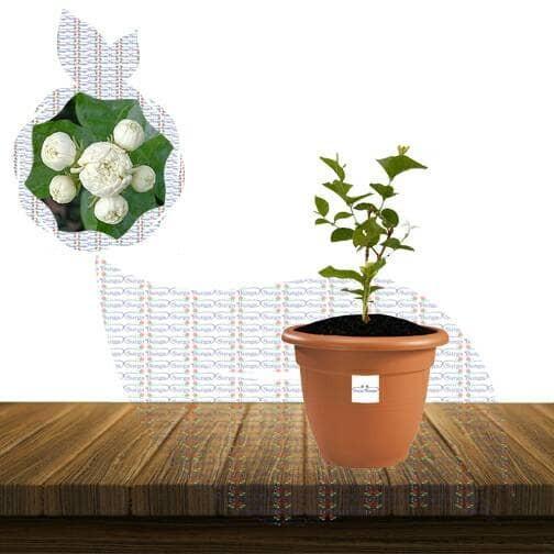 Jual Bibit Tanaman Bunga Melati Telur Kota Batu Surgabunga3 Tokopedia