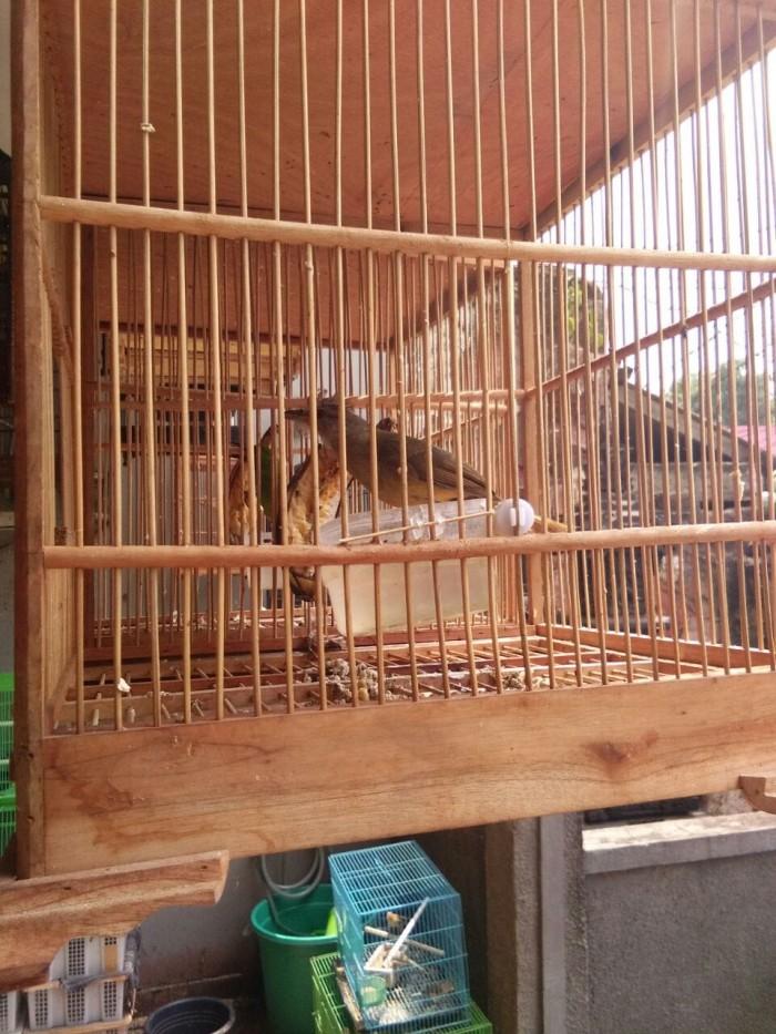 harga Burung kapas tembak bahan Tokopedia.com