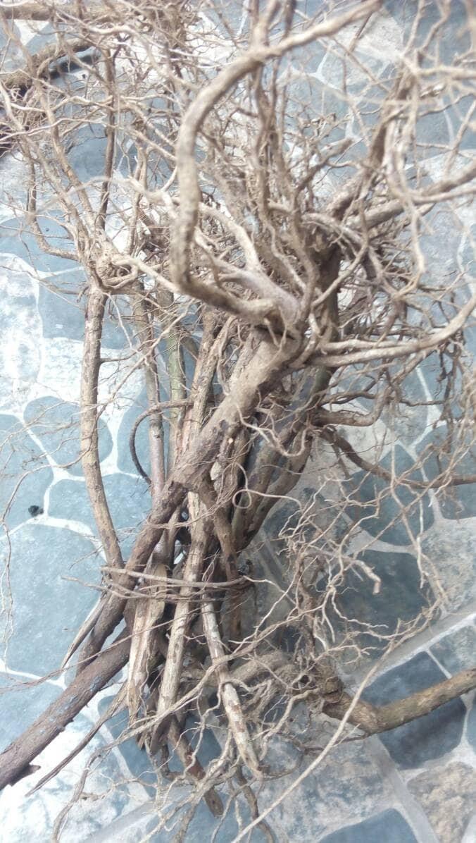 Jual Kayu Aquascape Akar Senggani Kota Depok Herbalscape