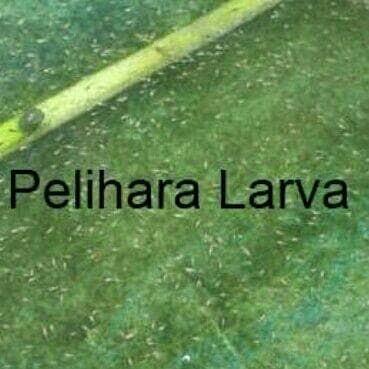 Download 7600 Gambar Ikan Nila Gesit HD Gratis