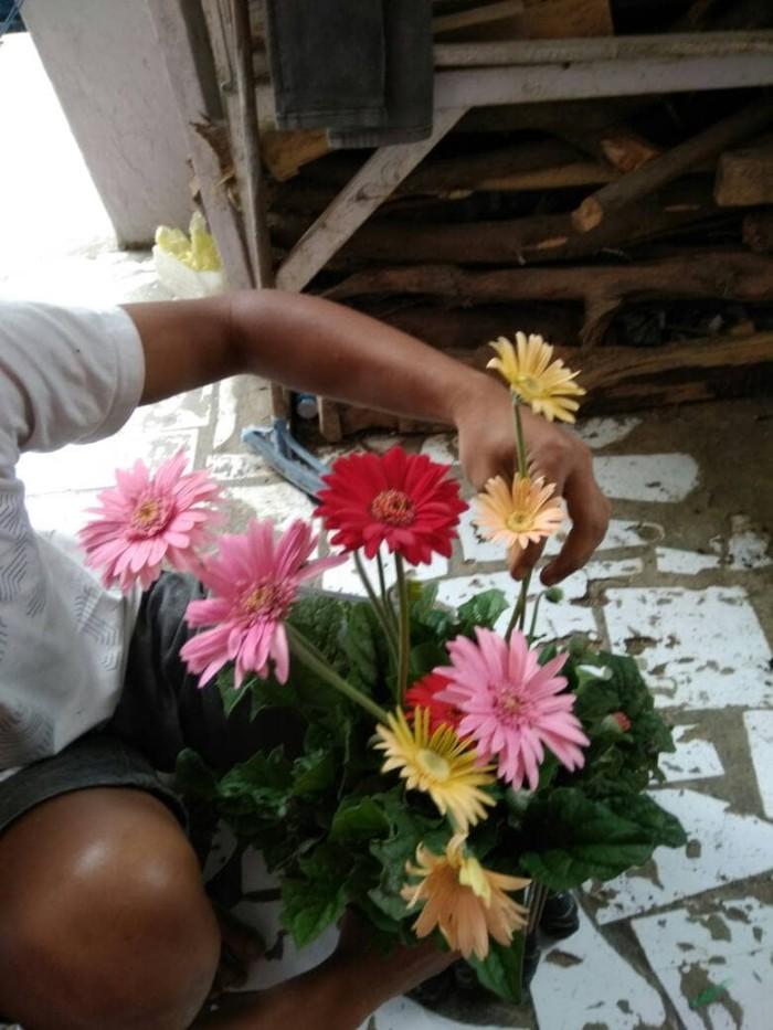 Jual Tanaman Bunga Gerbera Kota Batu Kambojaflorist Tokopedia