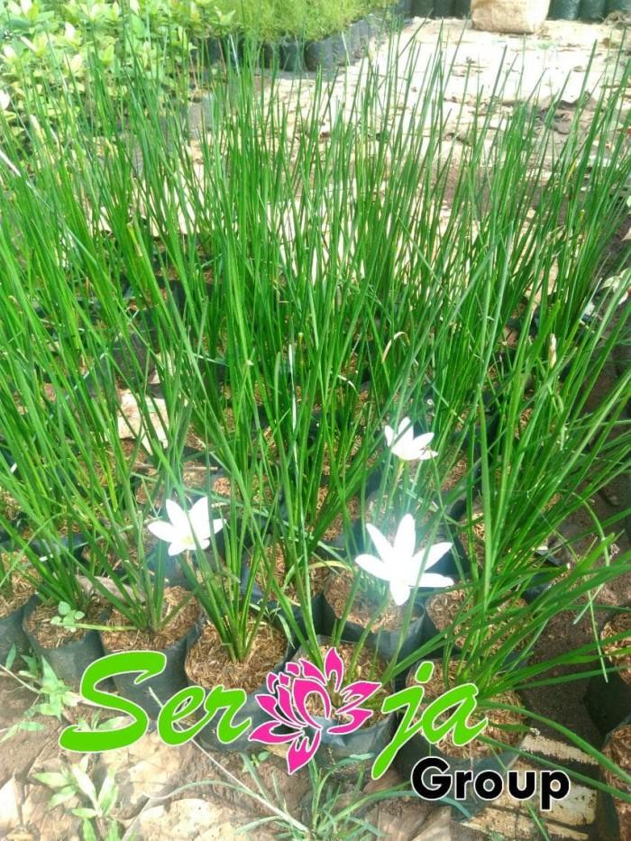 Jual Tanaman Hias Kucai Bunga Putih Pohon Kucai Mini Kab Bogor Seroja Group Tokopedia
