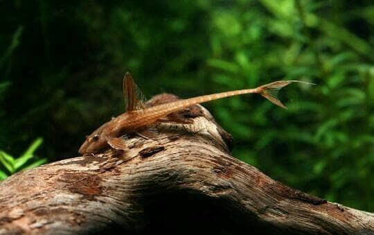 harga Ikan hias aquascape - red lizard pleco Tokopedia.com