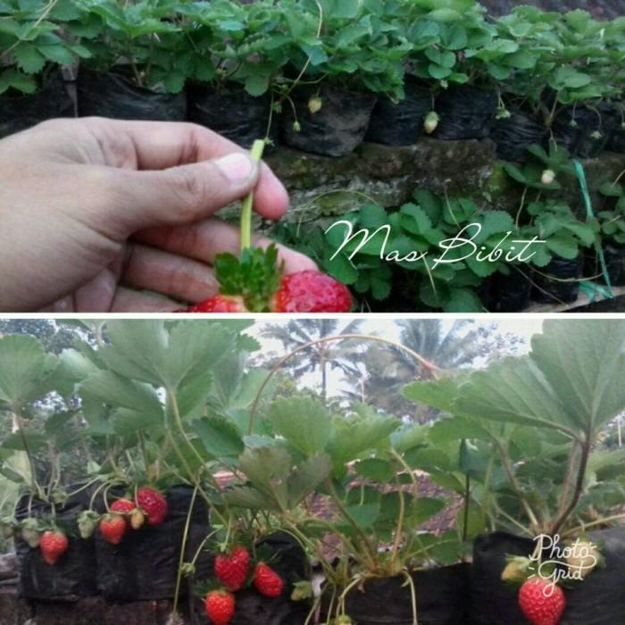 Bibit Tanaman Buah Strawberry