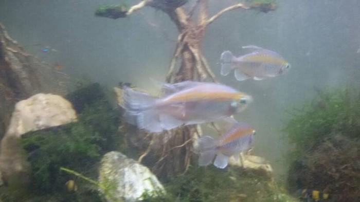 harga Ikan hias congo tetra Tokopedia.com