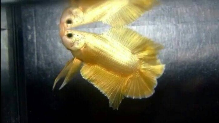 harga Import ikan cupang gold double tail bangkok halfmoon bagan plakat hmpk Tokopedia.com