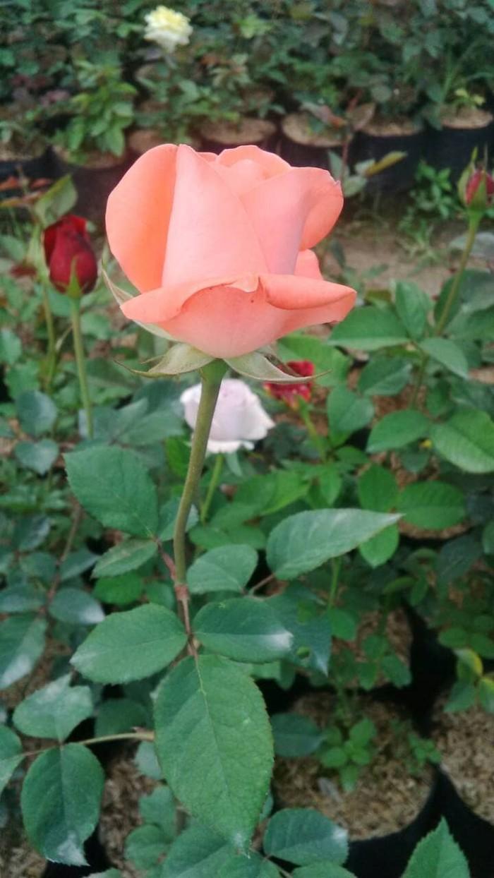 Jual Bibit Bunga Mawar Kota Batu Rosa Florist Malang