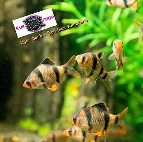 Unduh 470 Koleksi Gambar Ikan Hias Sumatra HD Gratis