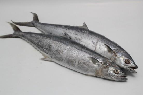 Download 540 Gambar Ikan Tenggiri HD Terbaru