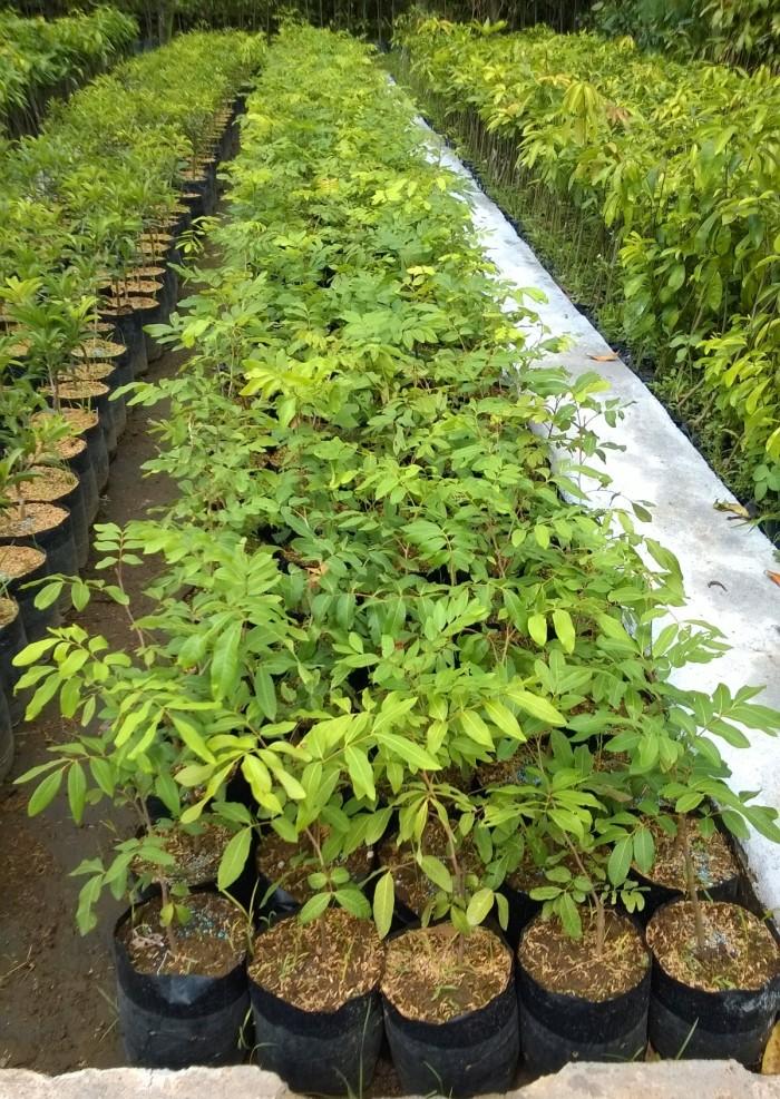 harga Tanaman pohon buah kelengkeng diamond Tokopedia.com