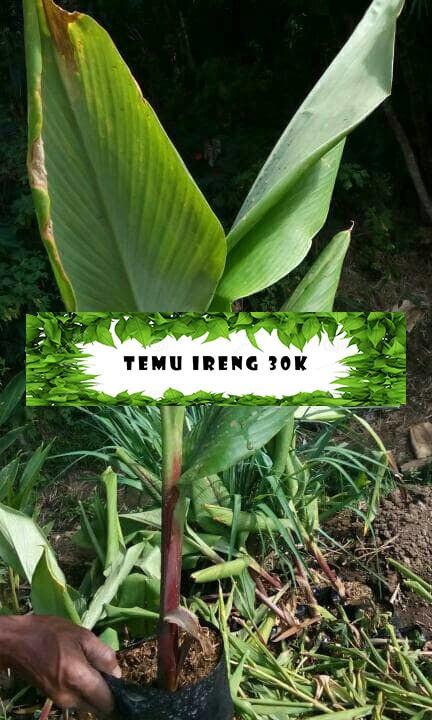 Jual Tanaman Herbal Temu Ireng Kota Batu Rancupid Farm Tokopedia