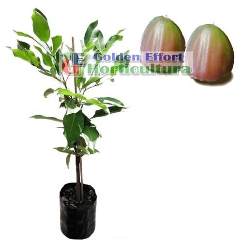 harga Jambu air giant rose apel Tokopedia.com