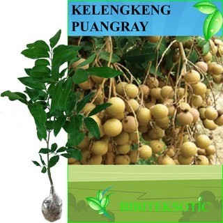 harga Kelengkeng puangray Tokopedia.com