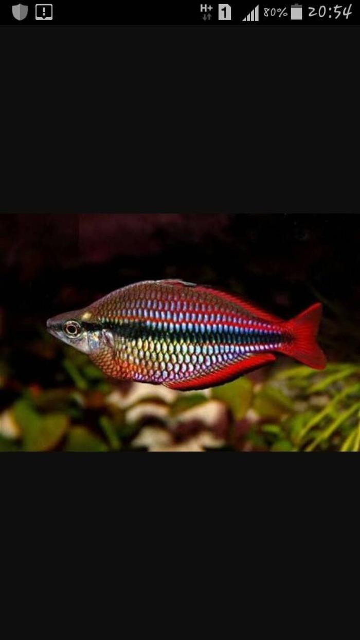 Jual Ikan Hias Rainbow Makaloci Kota Depok Aqua City