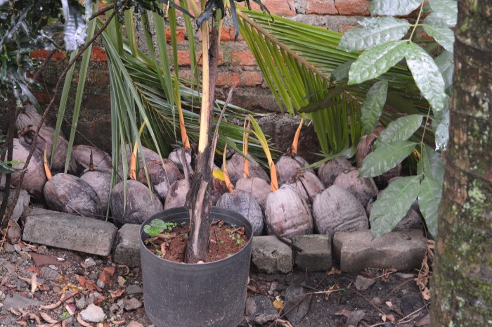 harga Bibit kelapa gading Tokopedia.com