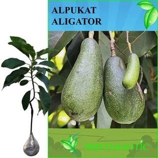 Alpukat Pepaya (Aligator)