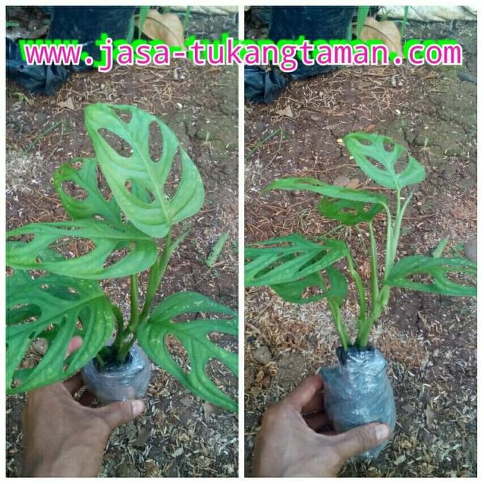 Jual bibit tanaman hias Monstera Obliqua / pohon janda ...
