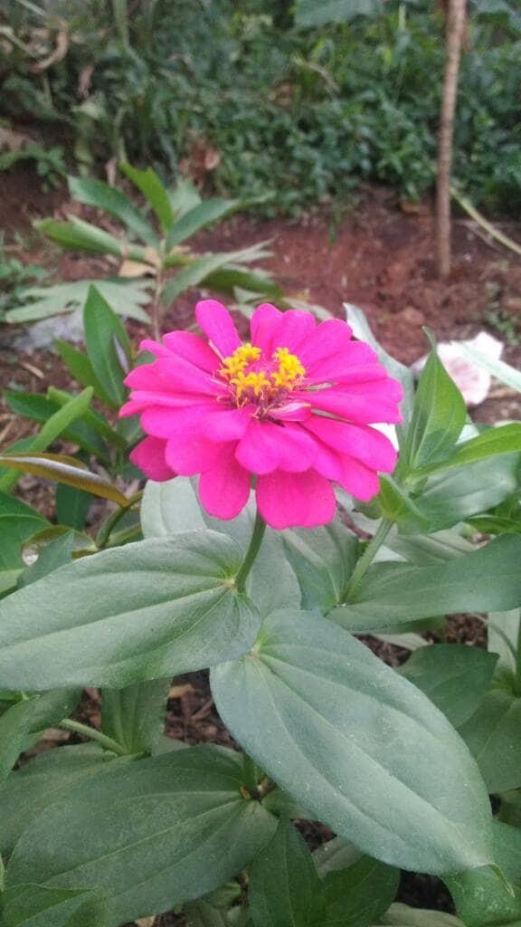 Jual Tanaman Hias Bunga Kertas Kab Bogor Pembibit Tanaman Tokopedia
