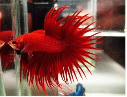 harga Ikan cupang hias super red merah crowntail maskot merah betta aduan Tokopedia.com