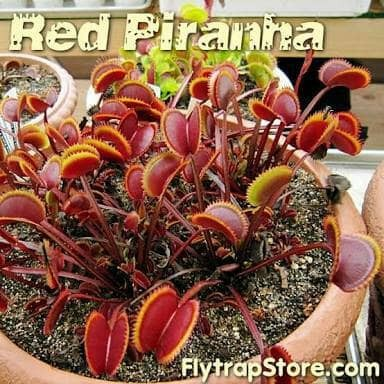 harga Venus flytrap red piranha Tokopedia.com