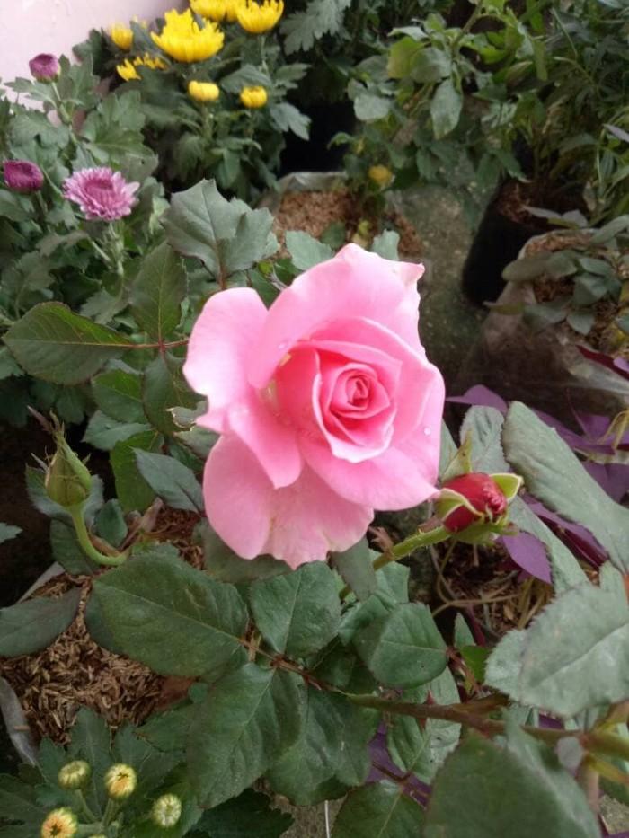 Jual Tanaman Bunga Mawar Pink Kab Bogor Vj Berkah Shop