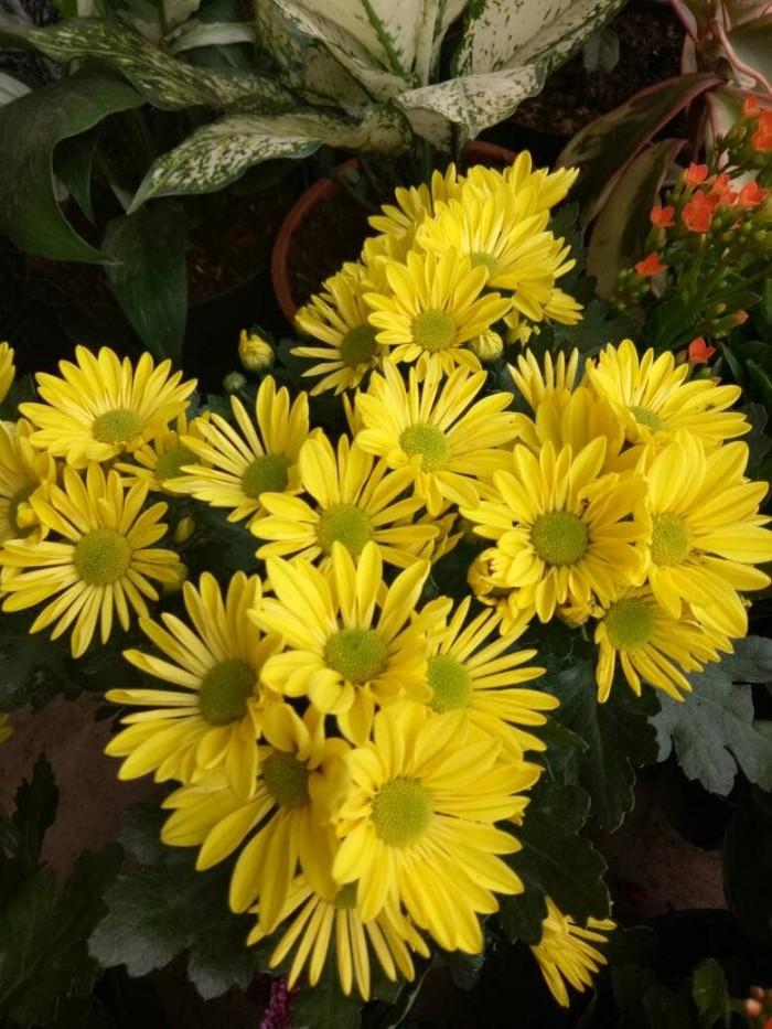Jual Tanaman Bunga Aster Mini Daisy Kuning Kab Bogor Vj